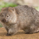 Wombats Have Round Bumholes But Do Square Poos