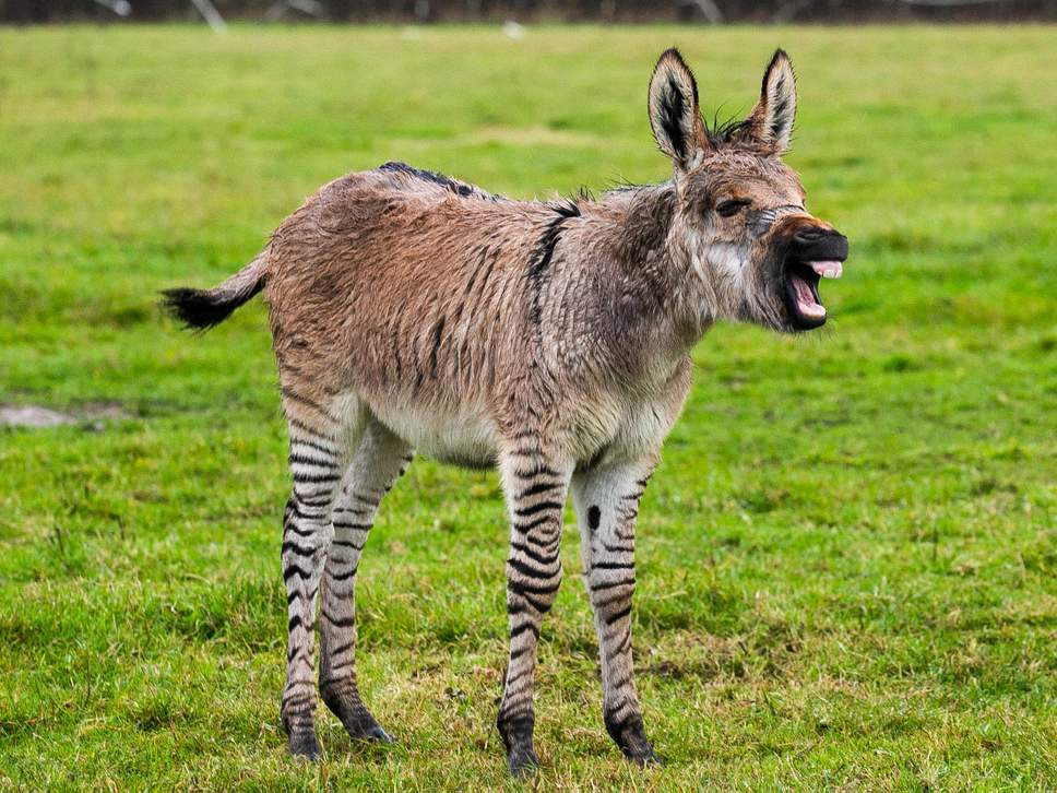 Zippy the Zonkey
