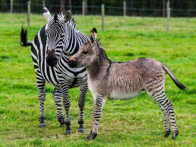 Zippy the Zonkey with mum
