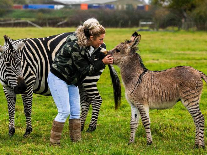 Zippy the Zonkey with owner and mum