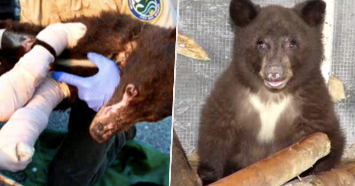 Black bear that recovered from burns has been killed.