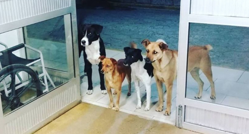 Dogs wait at hospital door for owner