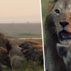 Lion Struggles To Fight Off 20 Hyenas Until His Bro Turns Up To Help Him