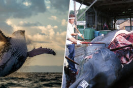Japan want to bring back commercial whaling.