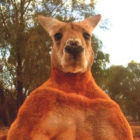 Roger The Ripped Kangaroo Who Took Internet By Storm Dies