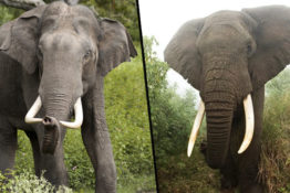 Elephants evolving to have smaller tusks