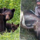 Man Who Killed Mother Bear And 'Shrieking' Cubs Gets 3 Months In Jail