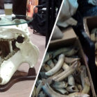 Illegal Elephant Skin Furniture And Hippo Skull Table Found On Sale At Safari Club