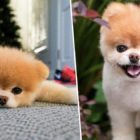 World's Cutest Dog, Boo The Pomeranian, Dies