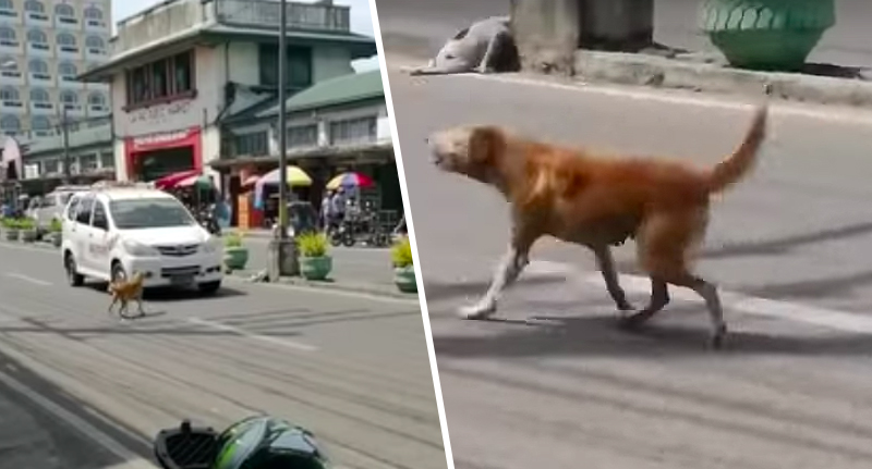 mum dog chases down cars for dead puppy