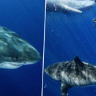 Largest Ever Great White Shark Pictured Feasting On Dead Whale