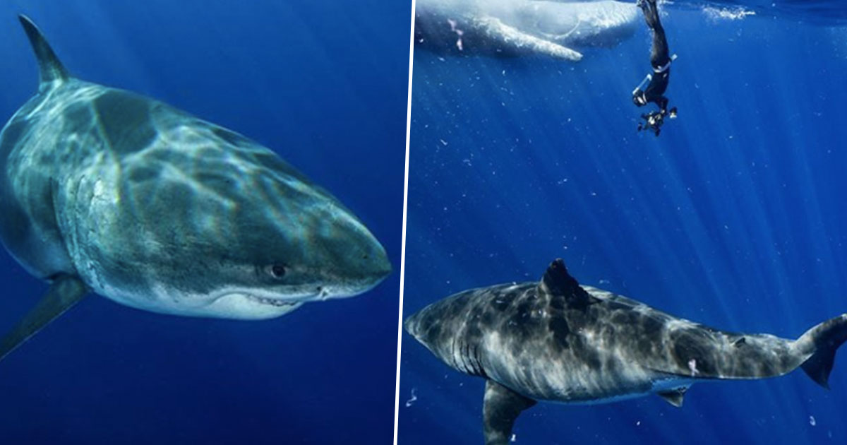 Largest Great White