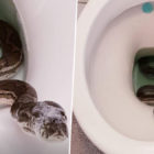 Australian Guy Finds Python In His Toilet After It Slithers Up Drain