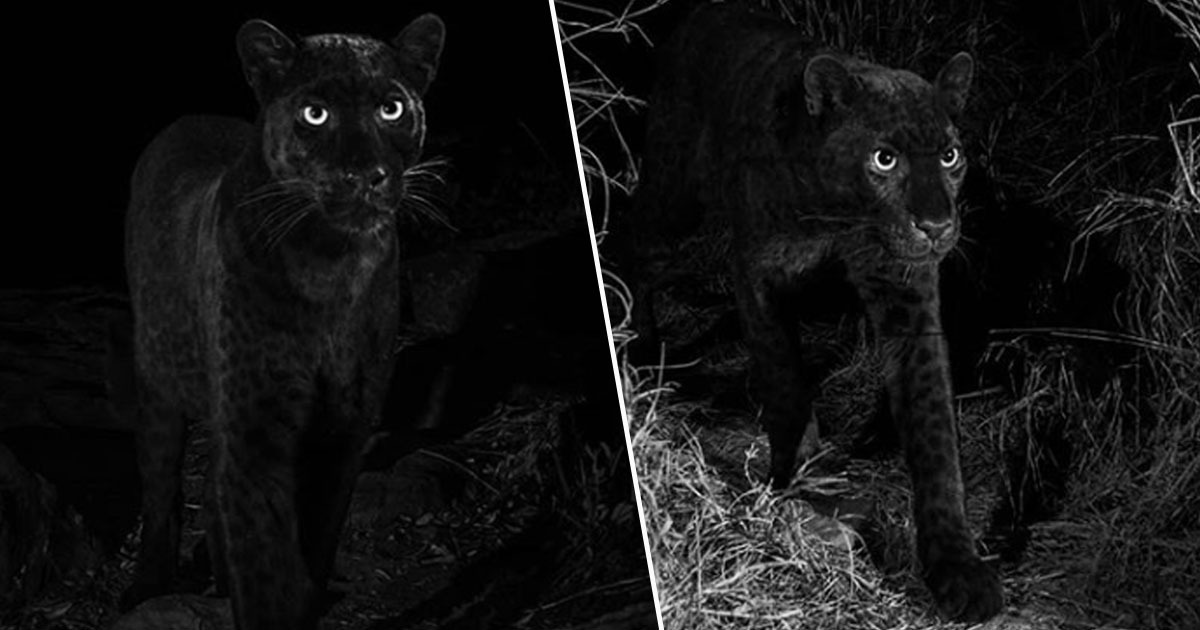 Black leopard photographed for first time in 100 years
