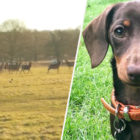 Fearless Little Sausage Dog Bounds Over To Herd Of Deer In Park