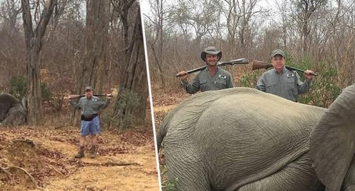 Businessman shoots elephants.
