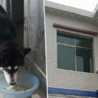 Excited Husky Jumps Off Roof To Greet Owner, Breaks Owner's Neck
