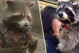 Oreo, the inspiration behind Marvel's Rocket, has died