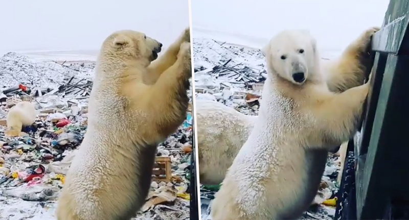 Polar bears invade Russian area