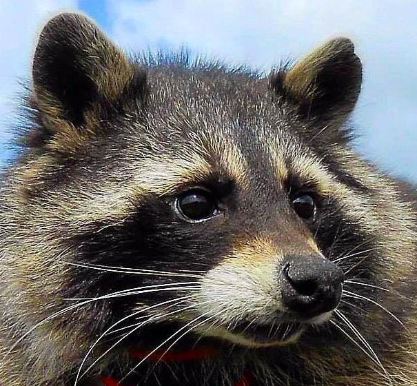 Oreo The Raccoon Who Inspired Guardians Of The Galaxy