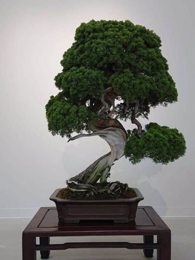 400-year-old bonsai tree stolen