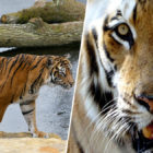 Endangered Tiger Mauled To Death By Potential Mate At London Zoo
