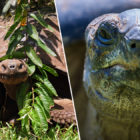 Giant Tortoise Species Thought To Be Extinct Found Alive In The Galapagos Islands
