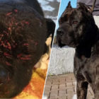 Dog Freed From Gang Trying to Breed 'Ultimate Fighting Dog'