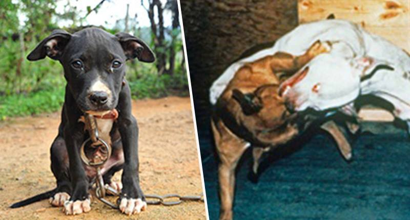 Dog Fighting Is Still A Profitable 'Sport' And That's