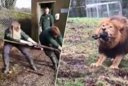 Dartmoor Zoo offers tug of war experience with lions and tigers