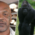 Mike Tyson Offered Zoo Keeper £9,000 To Fight A Silverback Gorilla