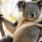 'Sexy Koala' In Seductive Come Hither Pose Goes Viral