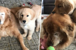 Blind dog gets own guide dog