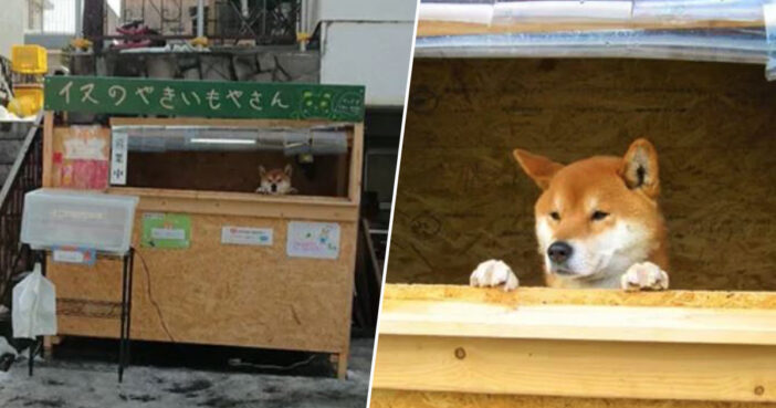 Dog manages shop in Japan.