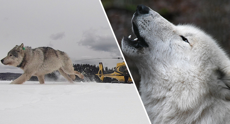 Wolves airdropped into Michigan for special mission