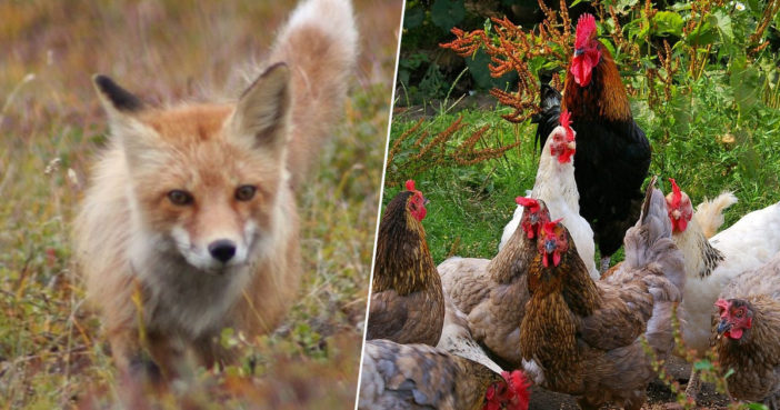 Chicken join forces to kill fox.