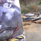 Hundreds Of Mutilated Dolphins Caught In Nets Found On Beach