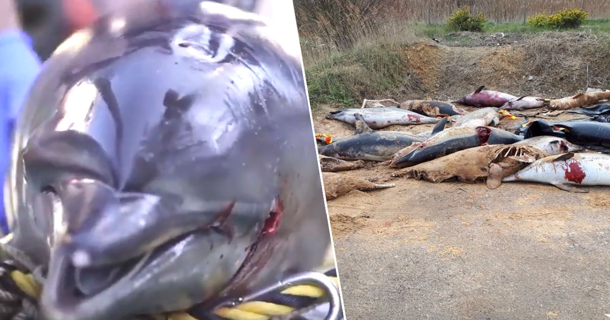Dolphins caught in fishing nets and piled on beaches