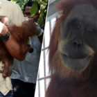 Orangutan Blinded After Being Shot 74 Times While Protecting Baby From Hunters