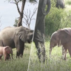 Rare Pink Elephant Calf Discovered In South Africa