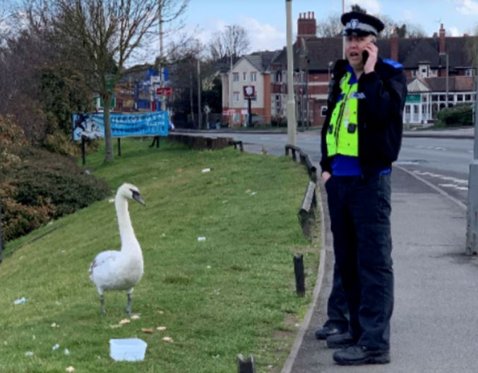 Police officer tries to catch swan