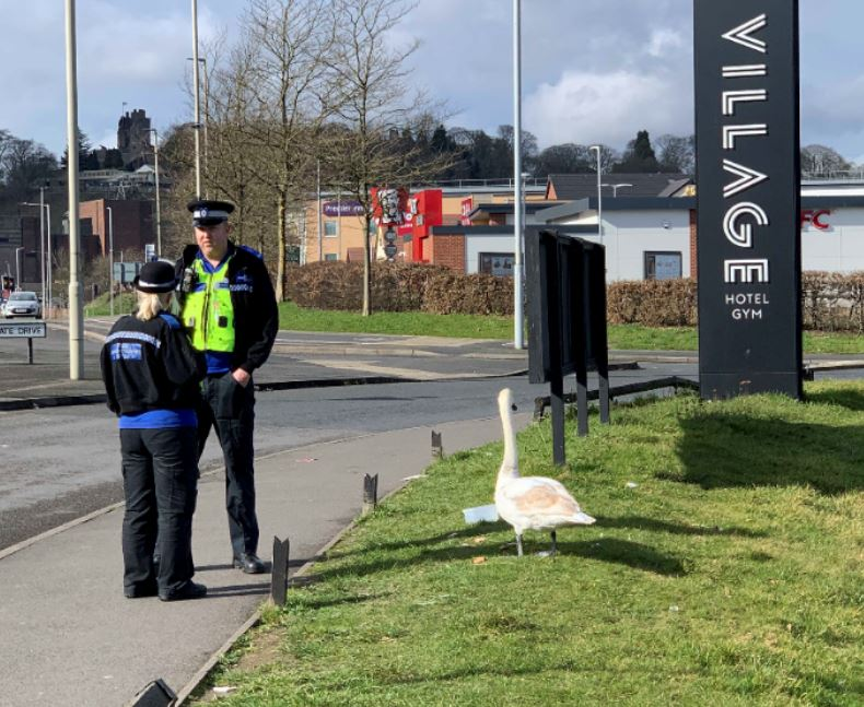 Police try to catch swan
