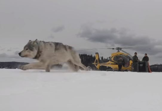 Wolves released in Michigan for special mission