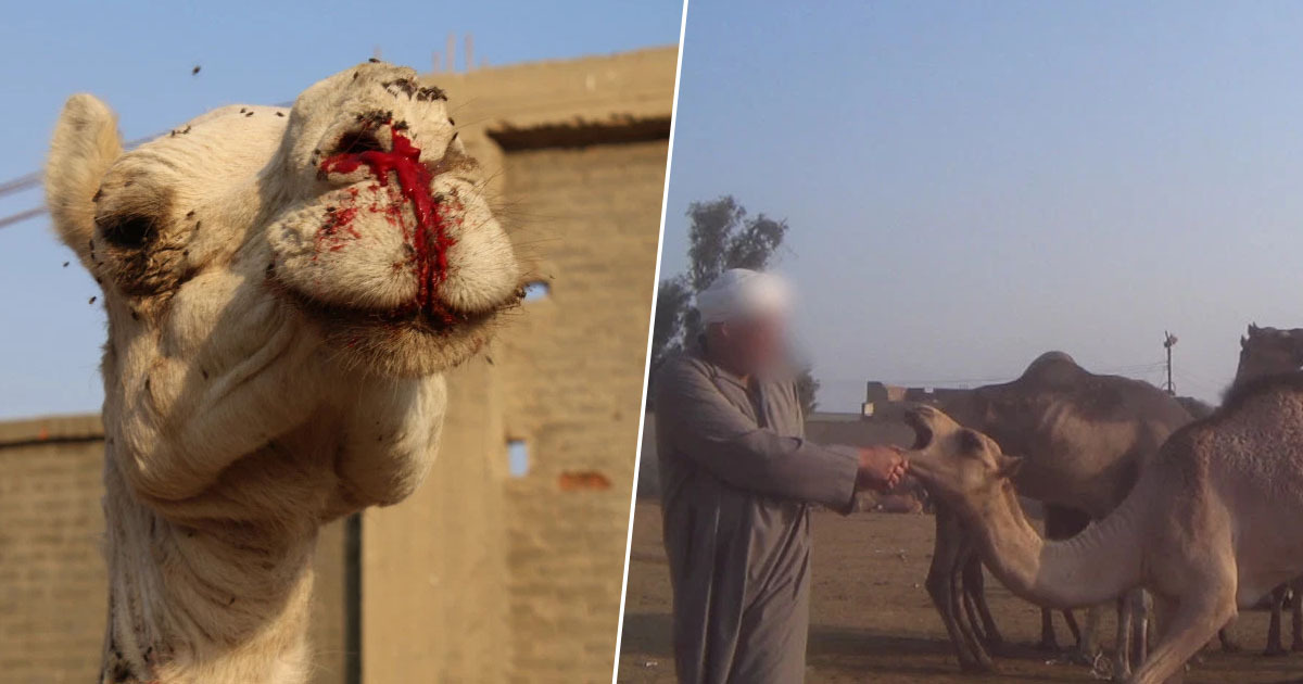 PETA Reveals Dark Truth Behind Tourist Camel Rides Egypt