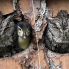 Owl Raises Duckling After Mistaking The Bird's Egg For Its Own