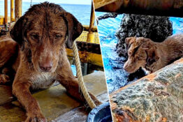 Dog swam to oil rig