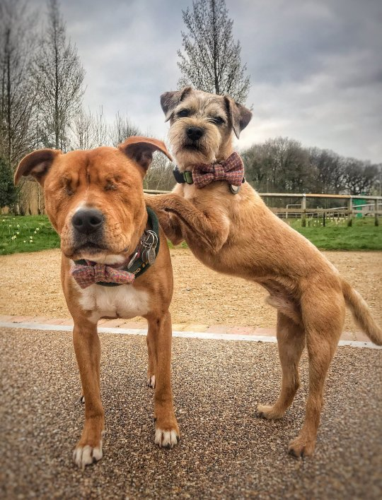 blind dog Amos with his own guide dog Toby