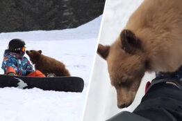 bear cub approaches humans ski resort california