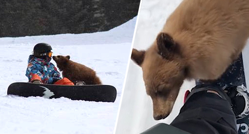 Bear Cub Faces Euthanisation For Being 'Too Friendly' With Visitors To Ski Resort