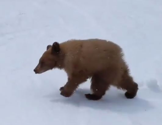 Bear cub approaches skiers
